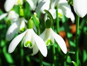 bucaneve in fiore