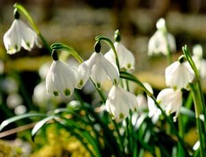 campanellini in fiore