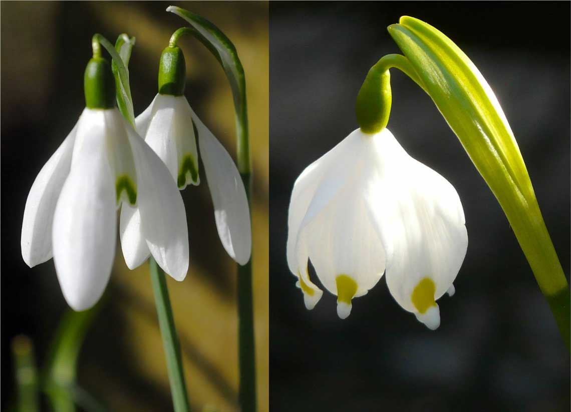 Bucaneve (Galanthus nivalis) e Campanellino (Leucojum vernum)