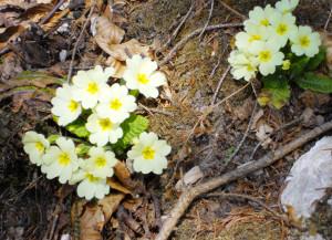 primula-vulgaris-huds-2