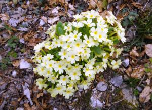 primula-vulgaris-huds-6