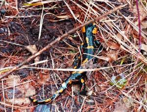salamandra pezzata (Urodeli)