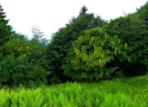 arbusti di maggiociondolo nel limite del bosco