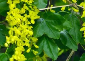 fiore di maggiociondolo