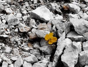 Papavero alpino retico