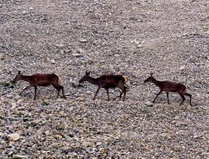 cervi - Parco Nazionale Dolomiti Bellunesi