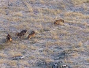 giovani lupi - branco della Lessinia