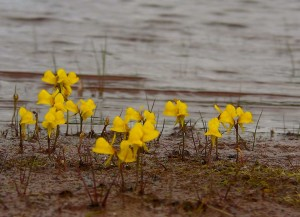 Utricularia: fiori https://www.flickr.com/photos/peupleloup/