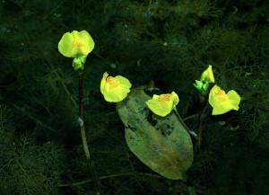 Utricularia: fiori e radici