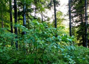 Belladonna in bosco