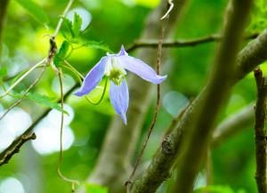 Clematide fiore