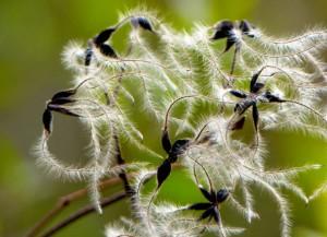 Clematide semi