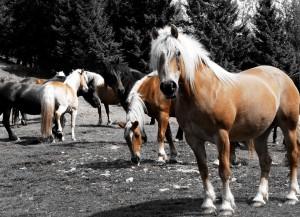 cavalli sui pascoli di Neva