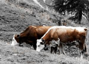 mucche sui pascoli di Neva