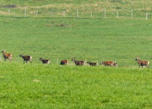 gruppo di cervi, Cansiglio