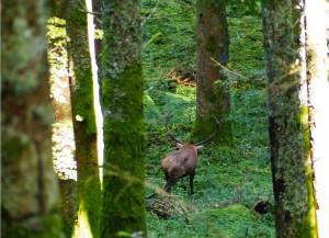 maschio adulto di cervo