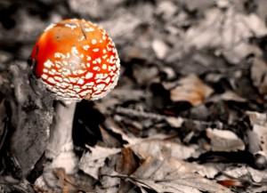 frutti del bosco: amanita muscaria