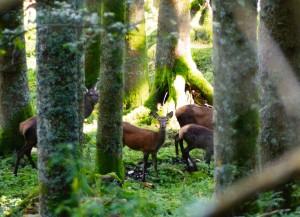 femmine e piccoli di cervo