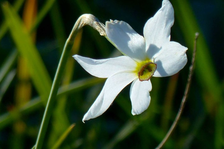 Narciso selvatico (Narcissus poëticus)