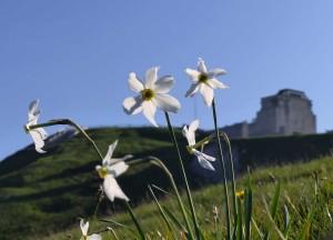 Narcissus poëticus