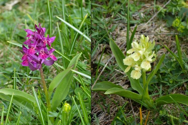 Orchidea sambucina (Dactylorhiza sambucina)